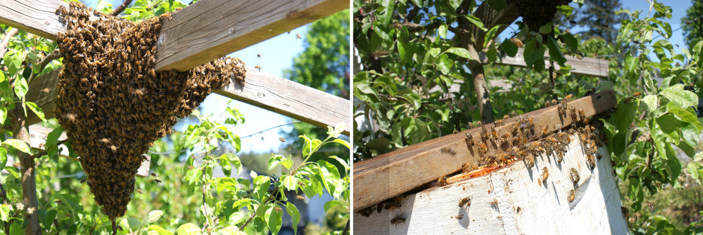 Healing Bees Natural Skincare - Why Honey Bees Swarm