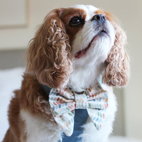 Cavalier King Charles Spaniel Wearing a velvet reversible dog harness with matching sailor dog bow.