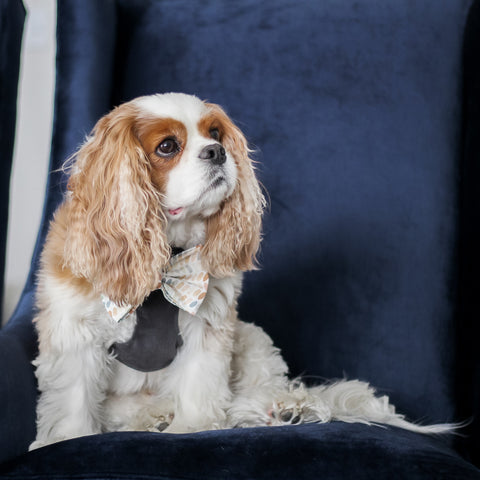 Mountain Stone Reversible Dog Harness + Arctic Sky Dog Bow Tie modeled by Cavalier King Charles Spaniel