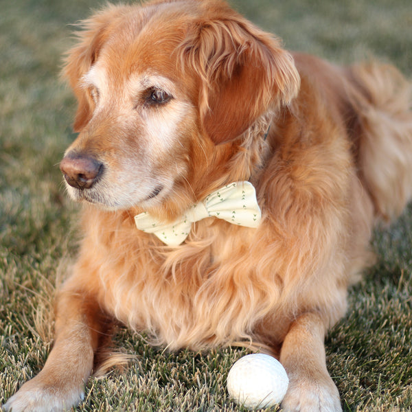 Golden Retriever wearing a dog bow tie and laying in the grass with a ball