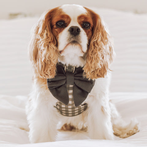 Cavalier King Charles Spaniel wearing a reversible dog harness with dog sailor bow.