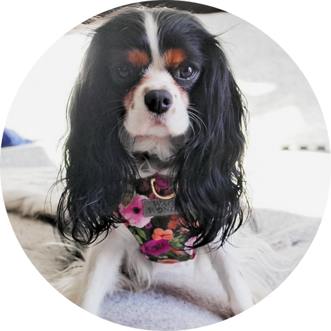 Izzy the Cavalier King Charles Spaniel in Mulberry Bouquet Reversible Dog Harness