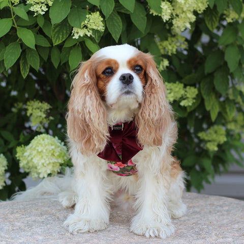 Mulberry Bouquet Reversible Dog Harness + Velvet Mulberry Sailor Dog Bow on a Cavalier King Charles Spaniel