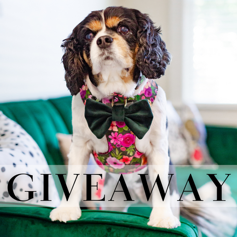 Giveaway - Maddie the Cavalier King Charles modeling a harness and bow tie