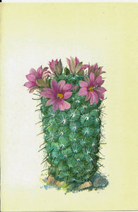 Mamillaria sheldonii, Mexico  [1970s] Vintage color botanical book plate 4x6""