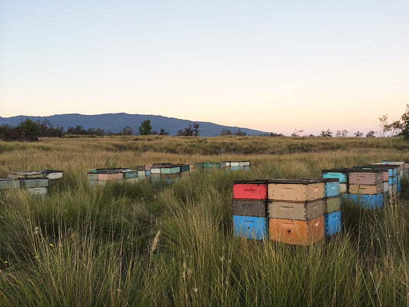 beehives in an ohia forest