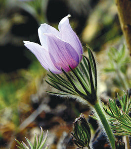 The Pasqueflower Signals the Beginning of Spring in the Rocky Mountains.