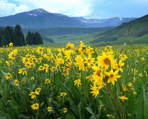 Rocky Mountain Wildflowers are Blooming early in Colorado's Wildflower Capital, Crested Butte as the Wildflower Festival Time Approaches.