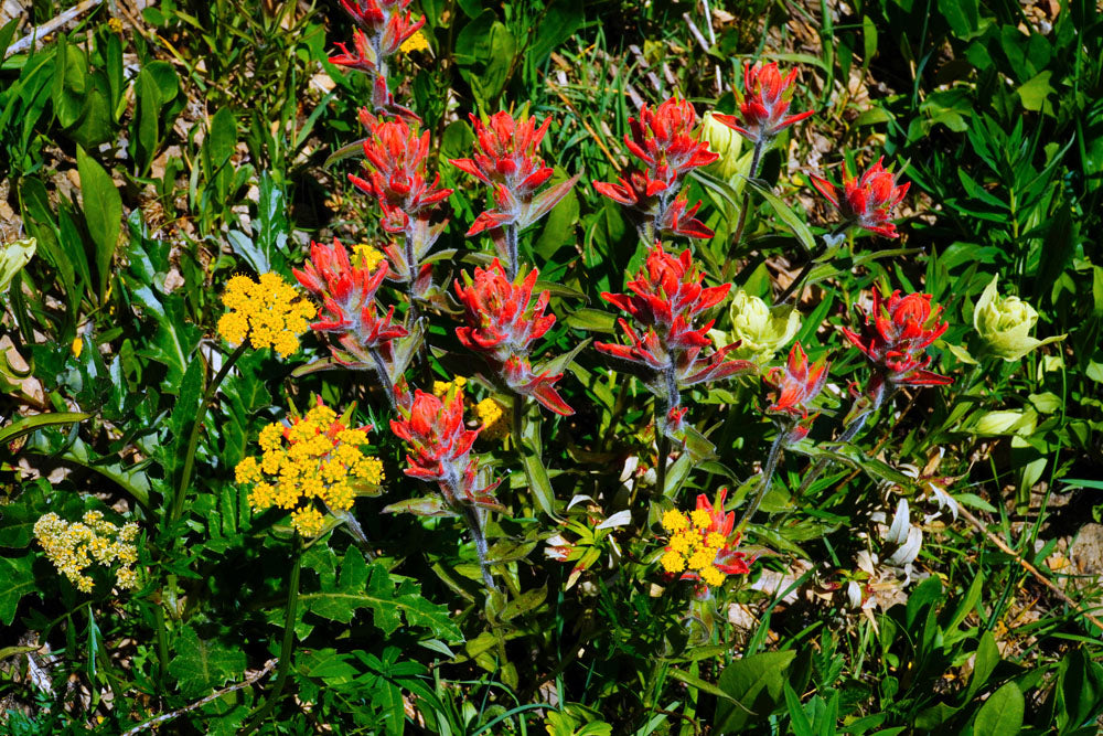 Hikes in Placer Valley, near Alma and in the Mosquito Range of the Rocky Mountains, Colorado by Linda and Bernie Nagy  to Identify Wildflowers.