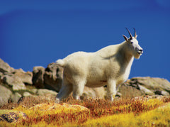 Mountain Goat, Mount Evans. Colorado Cutting Board