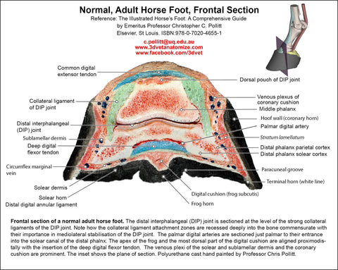 "C. Pollitt ""Normal Adult Horse's Foot-Frontal Section"" wall chart (replica)"