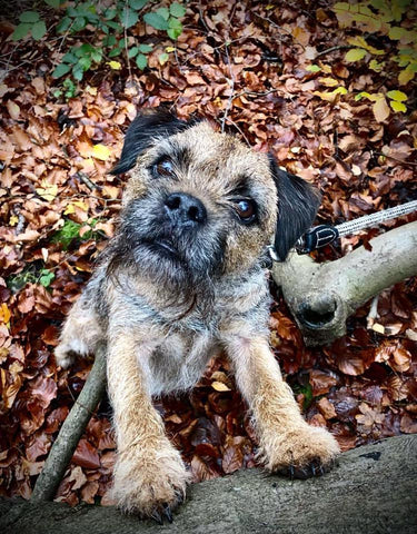 Ace the Boarder Terrier