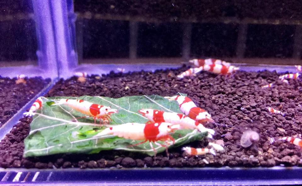 DiscoBee PRL enjoying Tantora Amaranth Leaves. Leaf will unfold after a short time in the tank.
