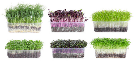 Microgreens in shell