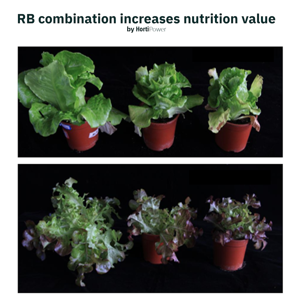 light can increase nutrition in lettuce