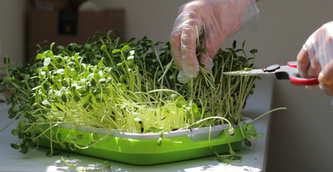 cutting microgreens