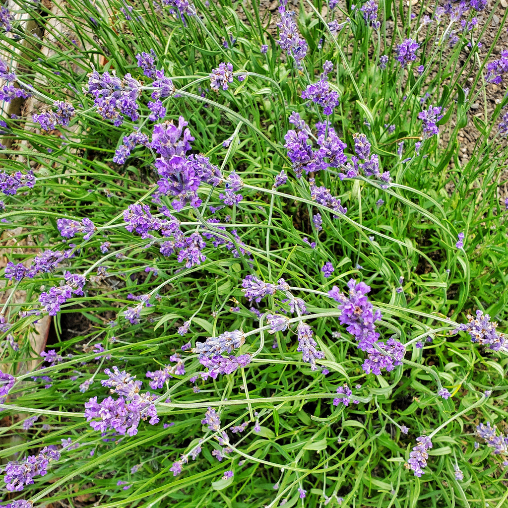 Lavender - The Calming Herb