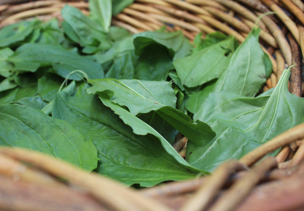Plantain: The Healing Leaf
