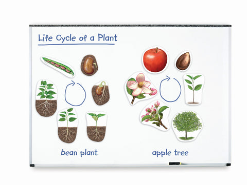 Livssyklus: planter - store magneter | Learning Resources