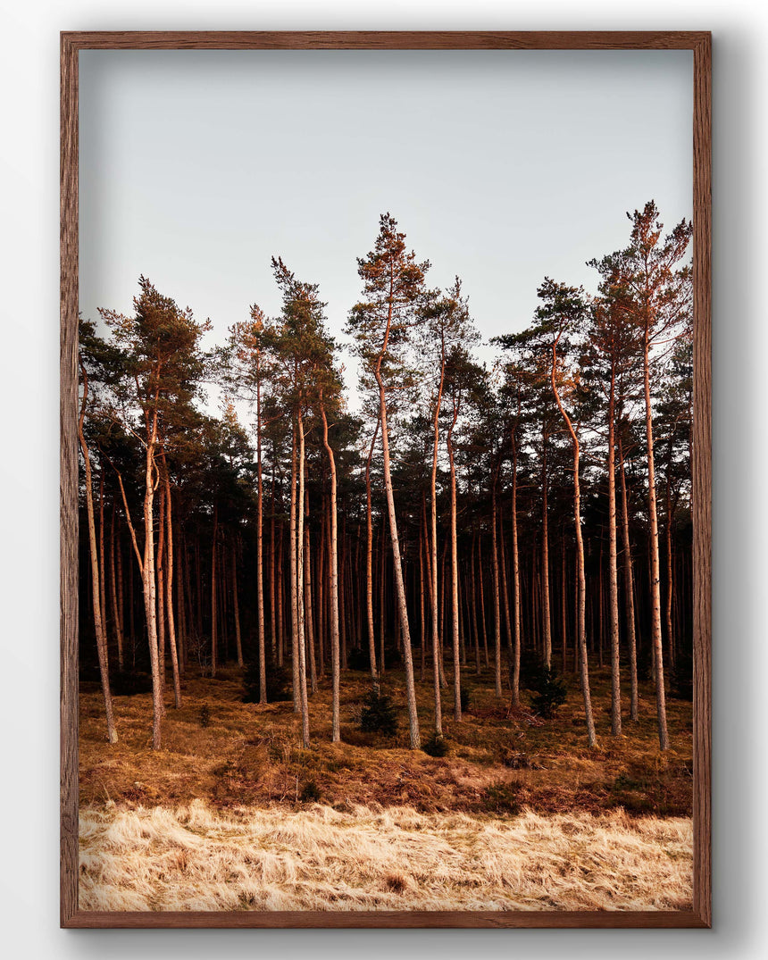 Silkeborg forest. Pine trees photo. Denmark