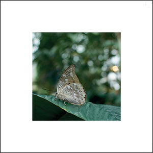 Prepona Butterfly Greeting Card
