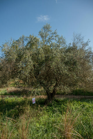 Adopt a Greek Olive Tree - Extra spots added!