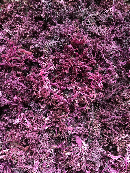 Wild-crafted Purple Sea Moss