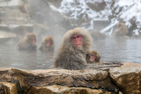 Japanese Snow Monkeys in Nagano Japan