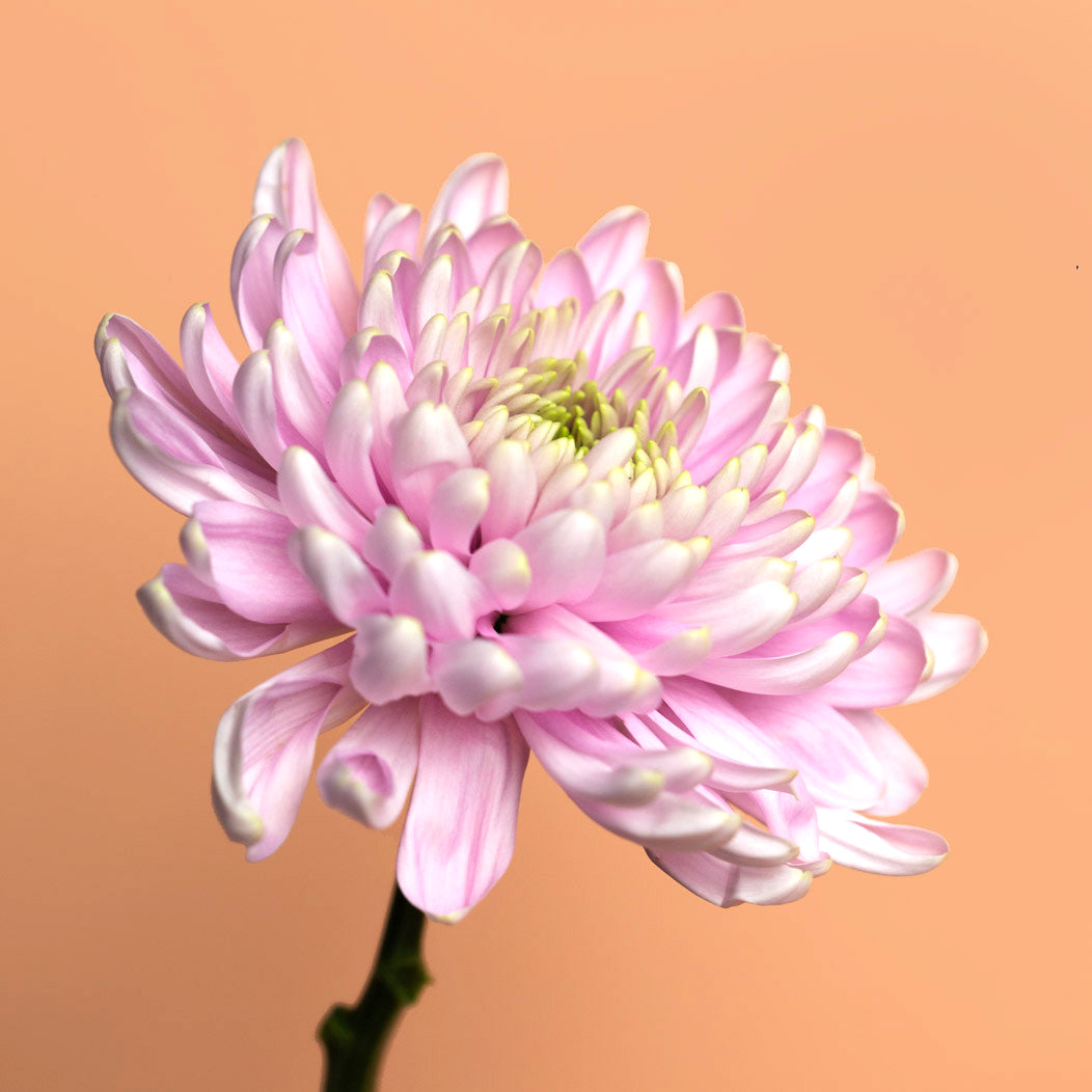 7-chrysanthemum