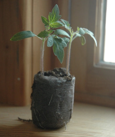 Heirloom tomato plant started from seed