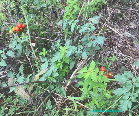 Wild tomatoes growing in forest