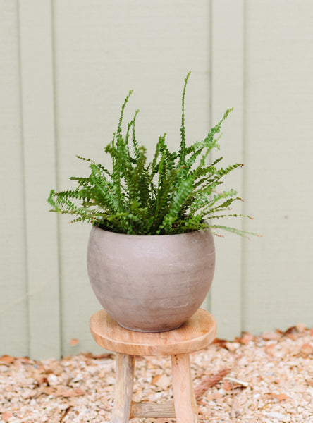 Button Fern Plant for Local Delivery