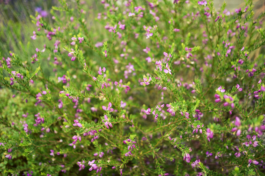Sweet Pea Bush (polygala x dalmaisiana) in The Santa Barbara Company Garden