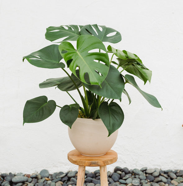 Monstera Plant in a neutral round pot for Local Delivery