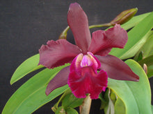 Load image into Gallery viewer, Blc. Precious Stones x Mem. Ralph Placentia