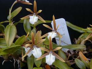 Epidendrum polybulbon is Encyclia polybulbon