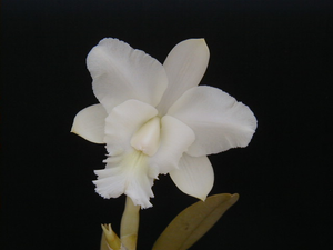 Bc.'Cindy Angel'