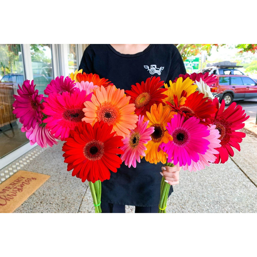 Gerbera Local Bli Bli