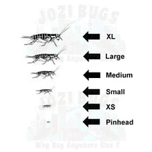 Load image into Gallery viewer, Grey Crickets - Jozi Bugs