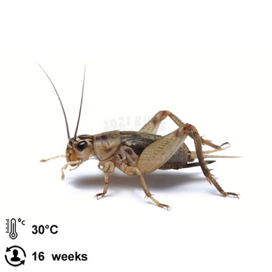 Grey Crickets ( Acheta Domestica) - Jozi Bugs