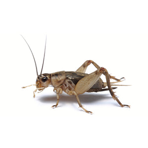Grey Crickets - Jozi Bugs