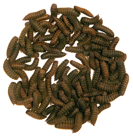 Dried Black Soldier fly Larvae 360g - Jozi Bugs