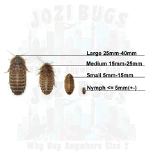 Load image into Gallery viewer, Dubia roaches - Jozi Bugs