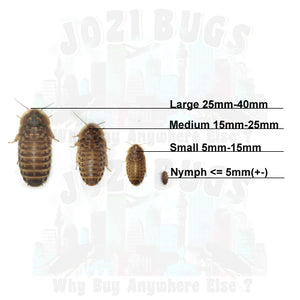 Dubia roaches - Jozi Bugs
