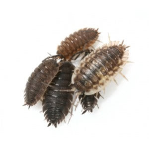 Isopods (Porcellio scaber) - Cleaning Crew - Jozi Bugs