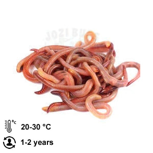 Red Wiggler Worms - Jozi Bugs