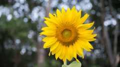 Plant Sunflowers with Toddlers & Young Children