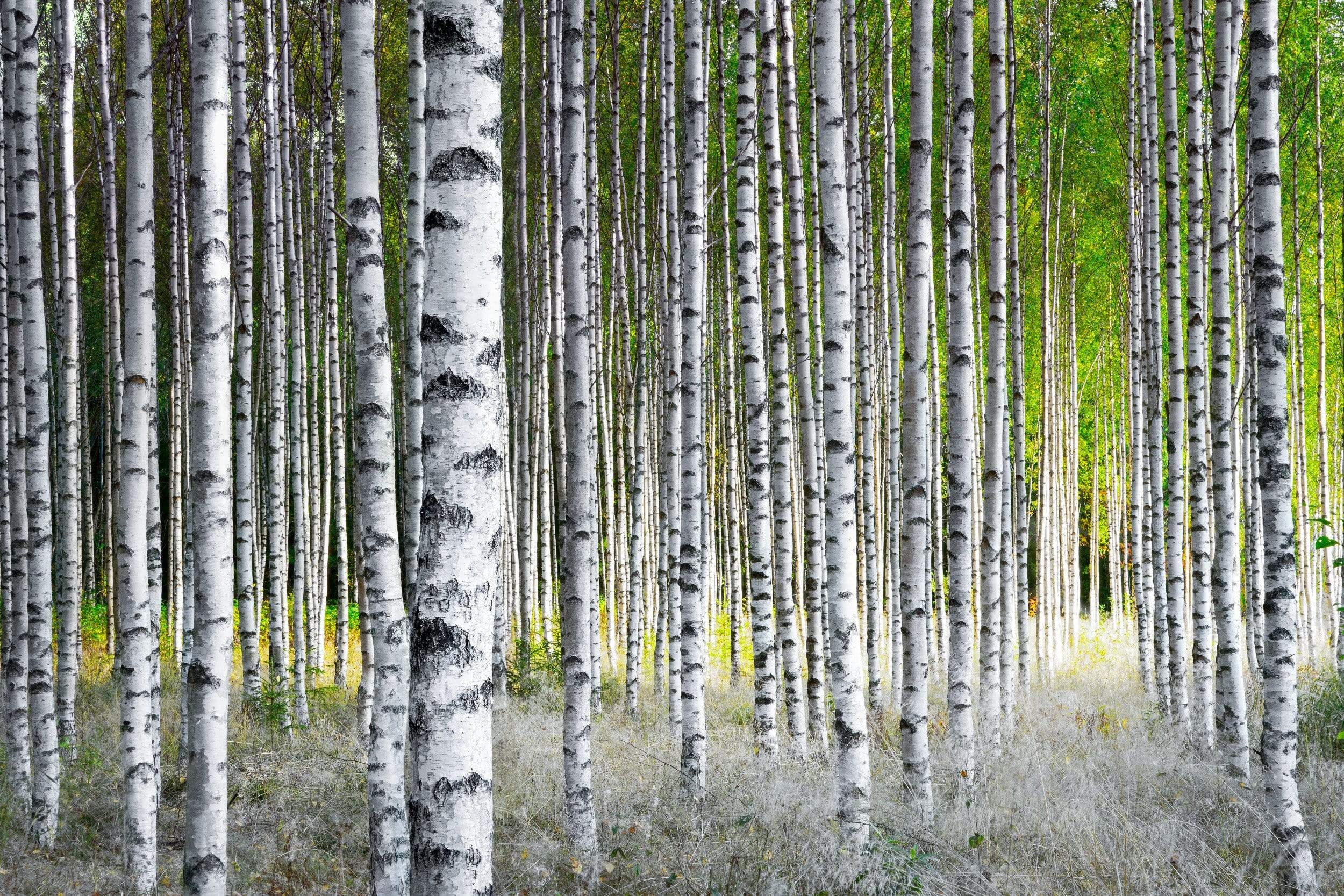 Birch Trees in a row