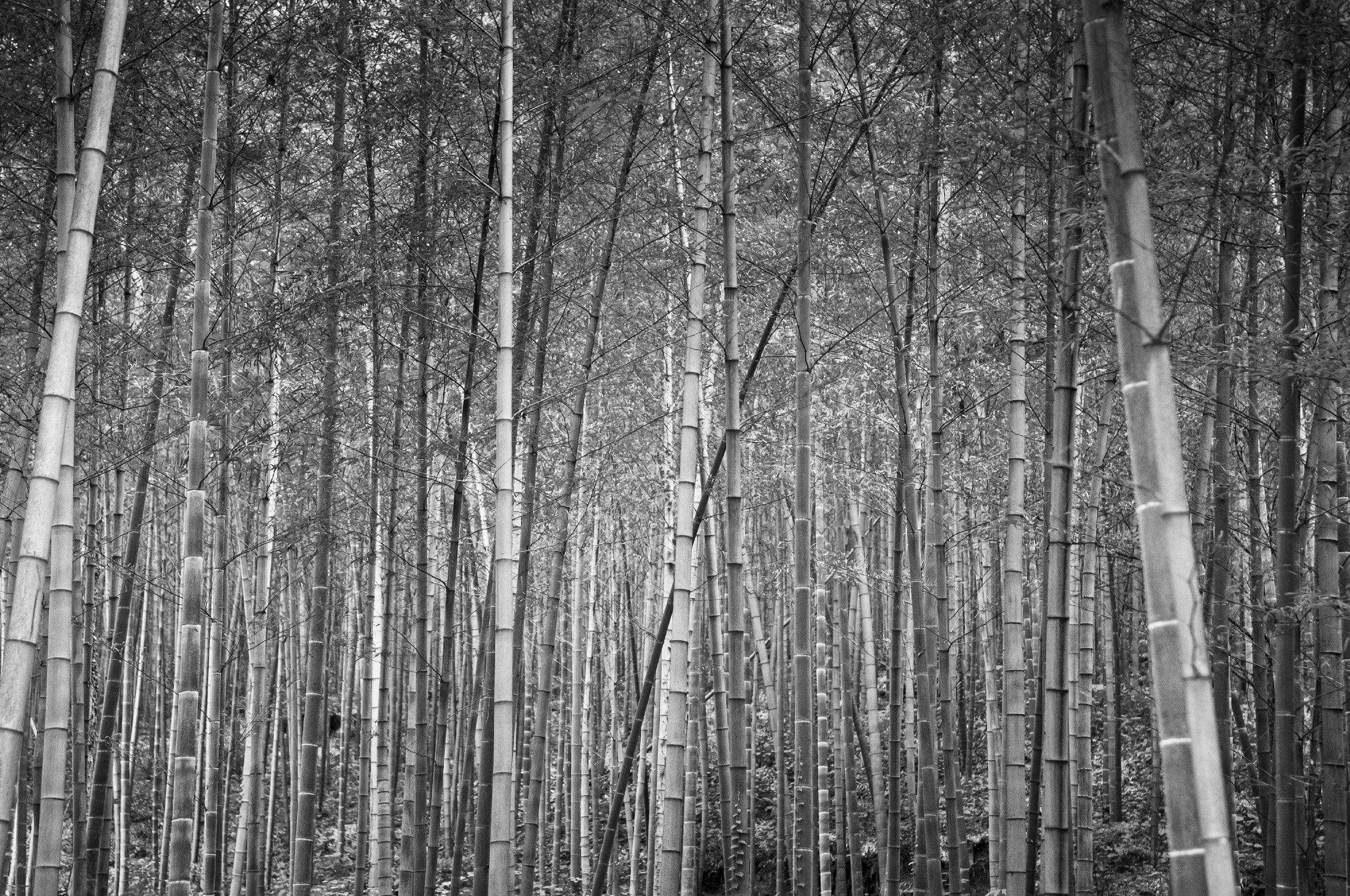 Black and White Cane trees