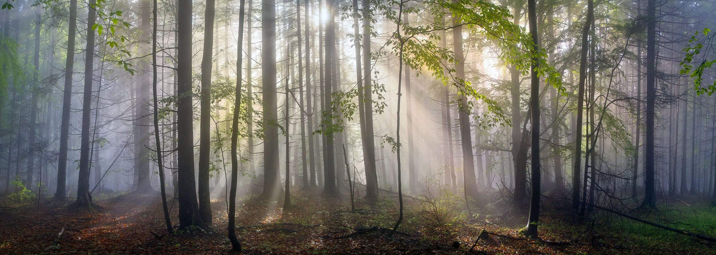 Fog in forest with sun beams
